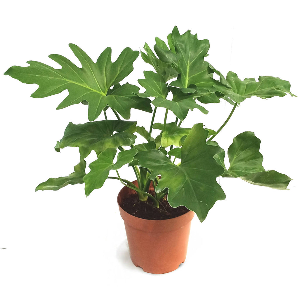 Philodendron selloum, Philodendron 'Hope' (0.4m)