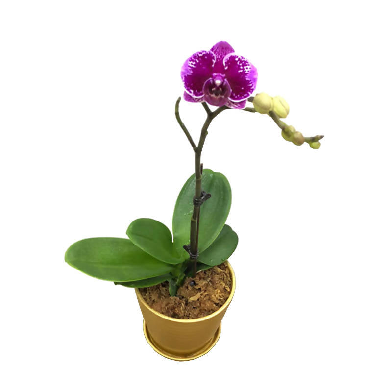 1 in 1 Mini Phalaenopsis Orchid with Gold Pot (0.5m)