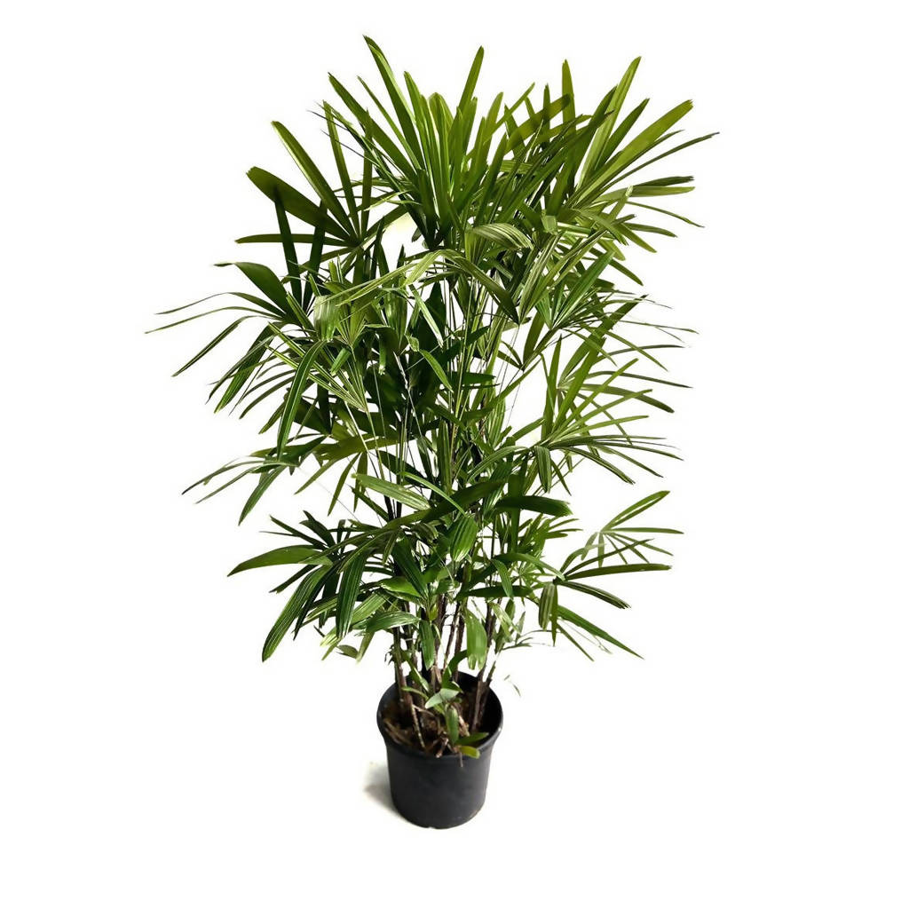 Rhapis excelsa, Lady Palm in Bag (1.5m)