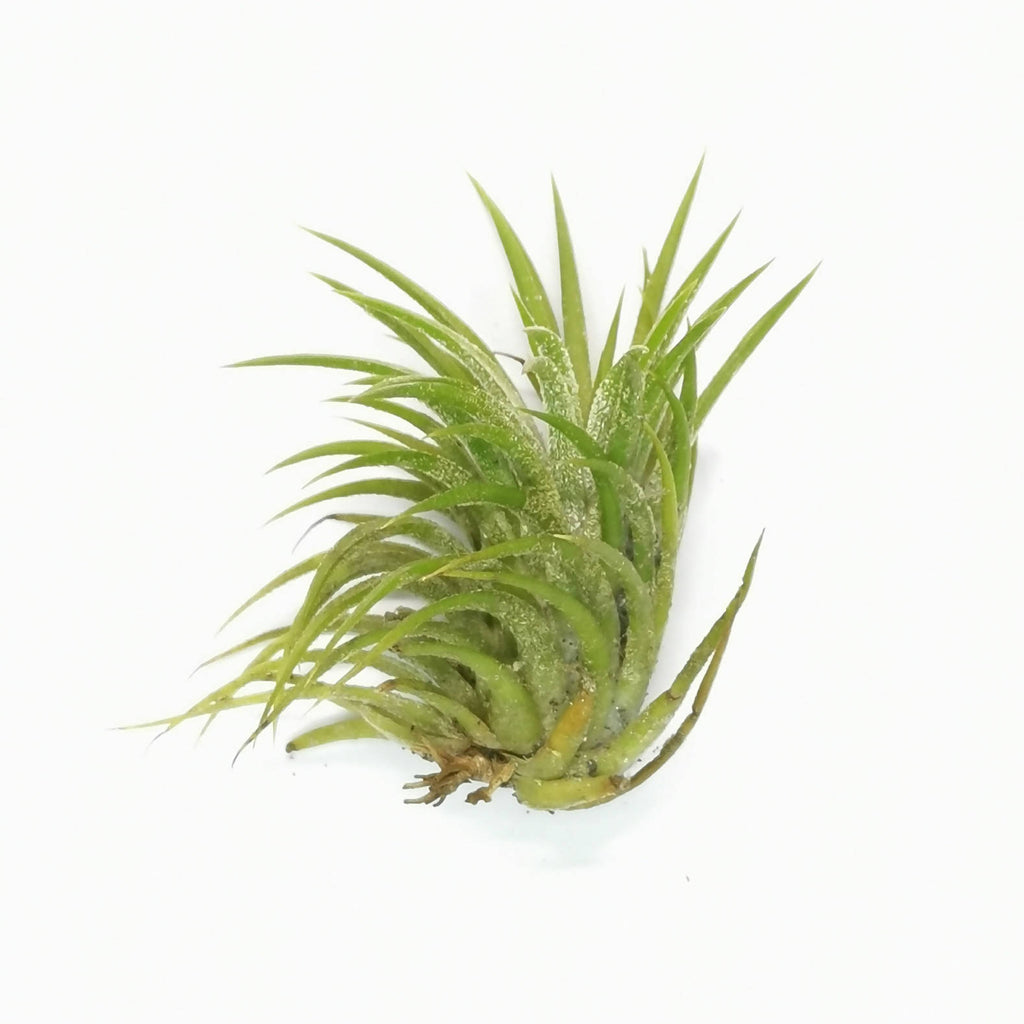 Air Plant Tillandsia ionantha Thick Leaves