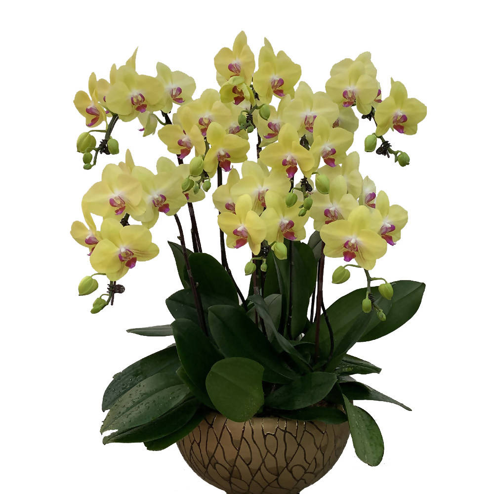 8 in 1 Phalaenopsis YFL with pot