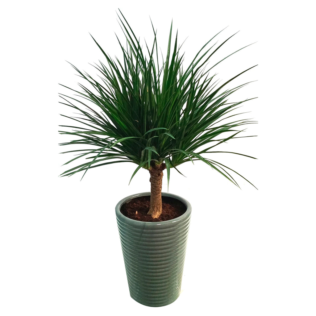 Dracaena Draco, Single to multi Stem in Grey Ridged Pot (1.0m)