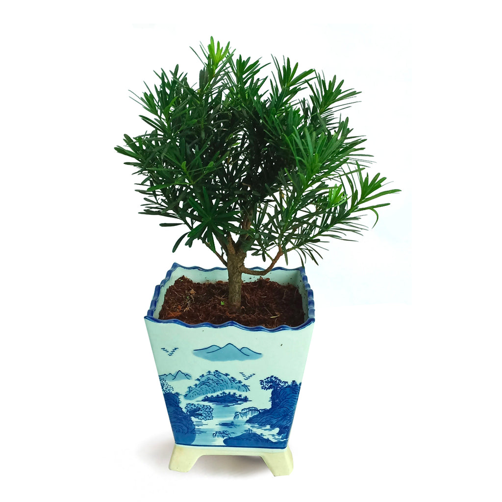 Podocarpus Bonsai in Ceramic Pot (0.3m)