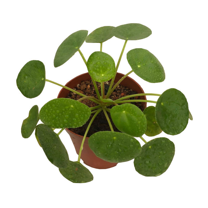 Pilea peperomioides, Chinese Money Plant (0.2m)