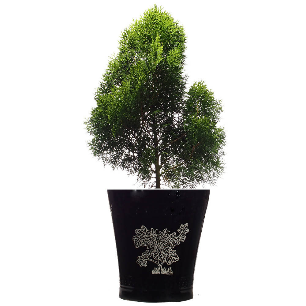 Thuja occidentalis, Pine Tree, in ceramic pot