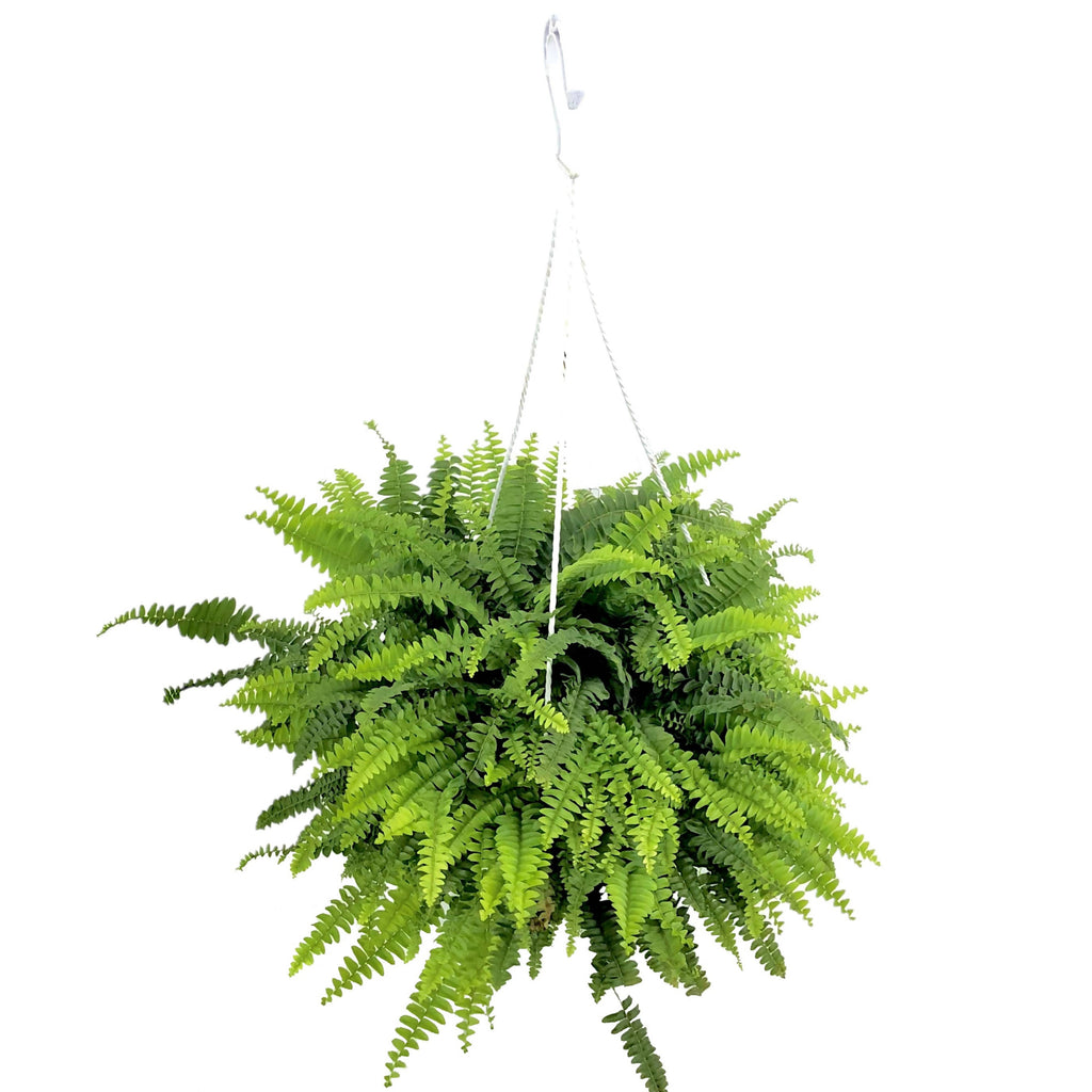 Nephrolepis exaltata, Boston Fern in Hanging Pot (0.4m)