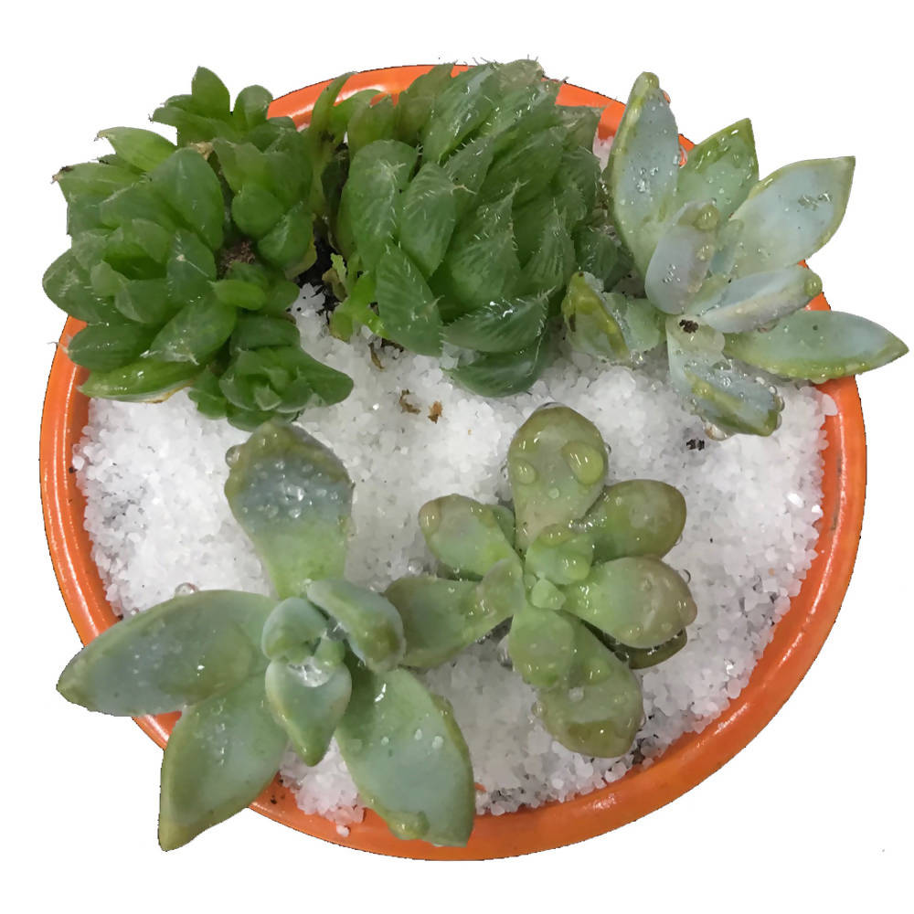 Succulent Arrangement in Orange Pot