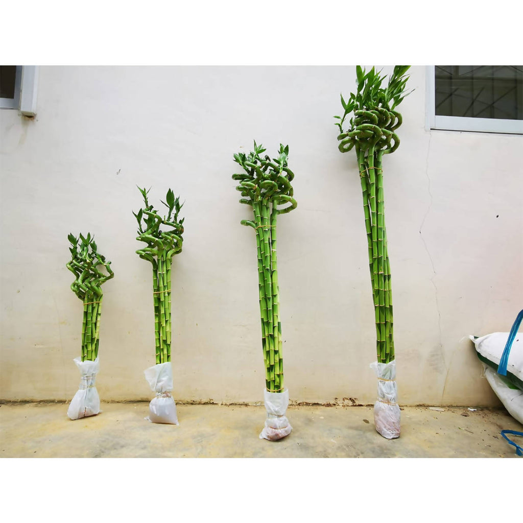 Curly Sanderiana Bamboo, Bundle of 10pcs (0.8mh)