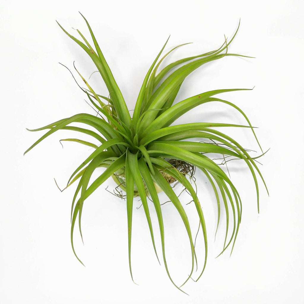 Air Plant Tillandsia brachycaulos Big