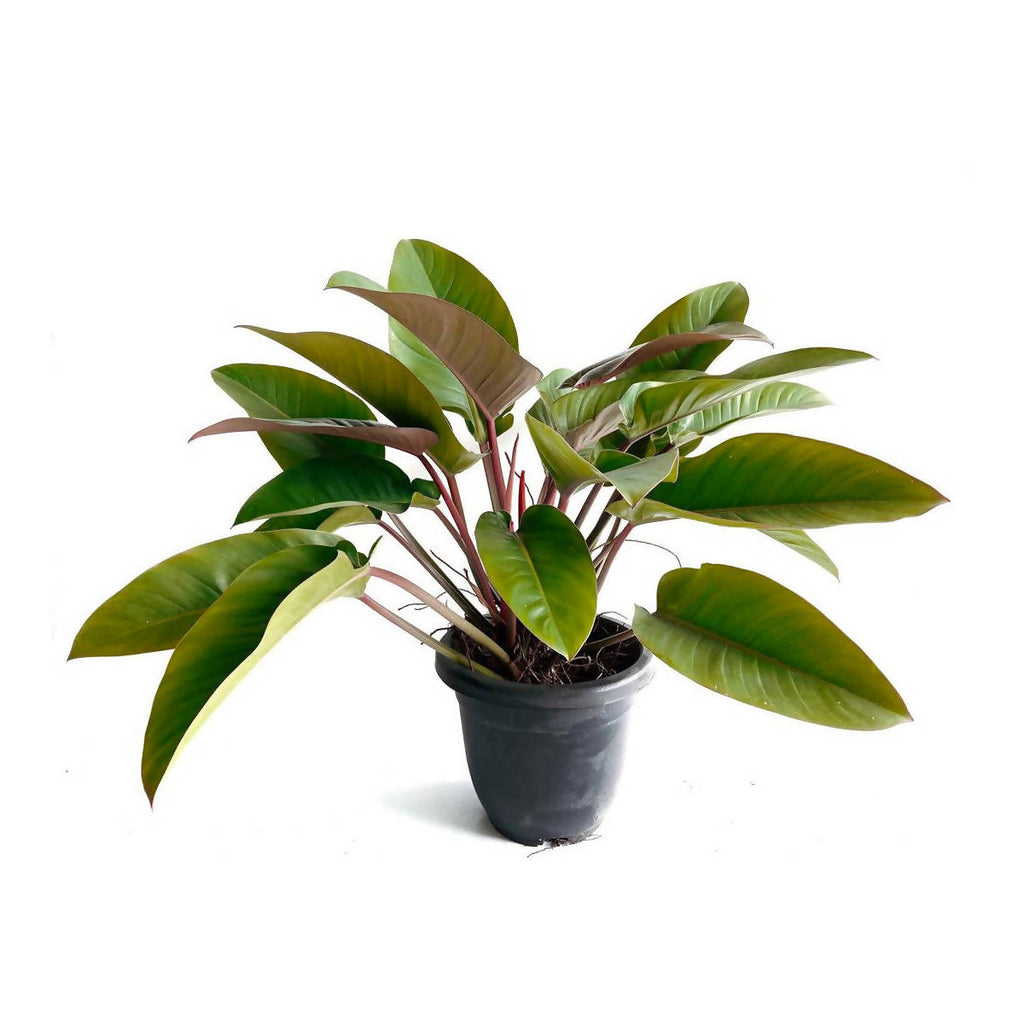 Philodendron Imperial Red (0.6m)