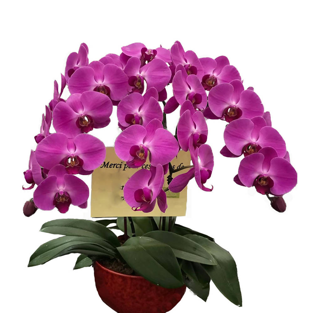 3 in 1 Phalaenopsis Arrangement Purple with pot