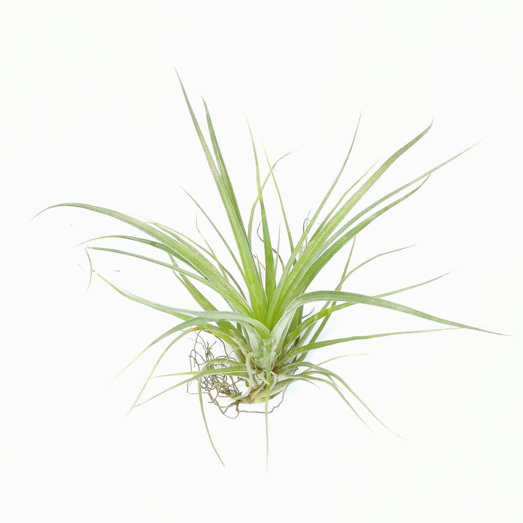 Air Plant Tillandsia stricta Stiff Leaves