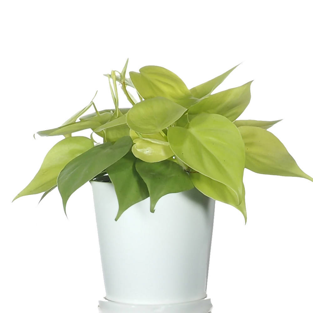 Philodendron Scandens Gold in ceramic pot