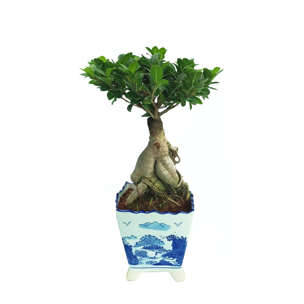 Ficus Microcarpa Bonsai in Blue Ceramic Pot (0.35m)
