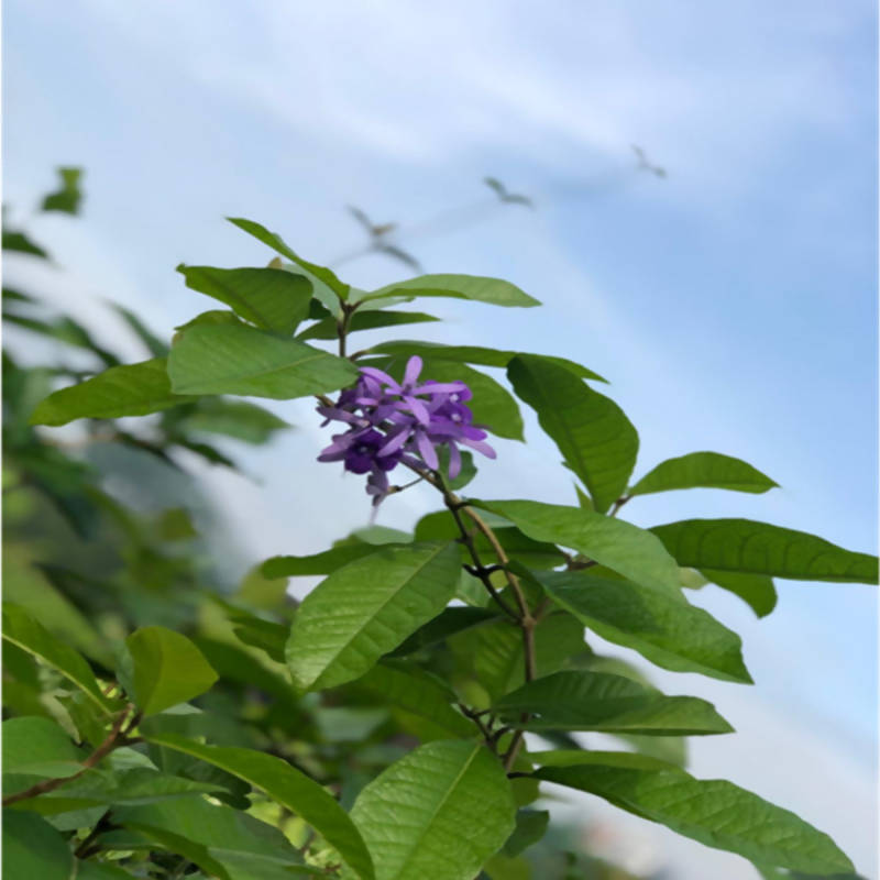 Petrea volubilis, Queen's Wreath, Sandpaper Vine (0.4m)