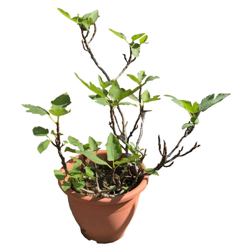 Ficus carica 'Taiwan Golden Fig' (0.6m)