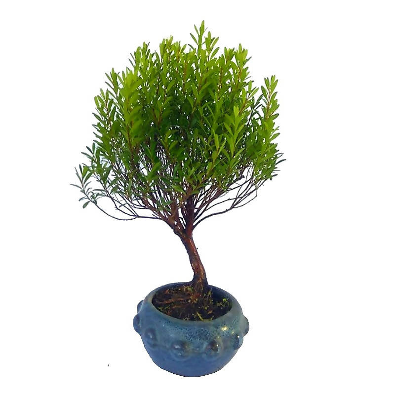 Myrtus communis Bonsai Tree, Golden Silk Bonsai (0.3m)