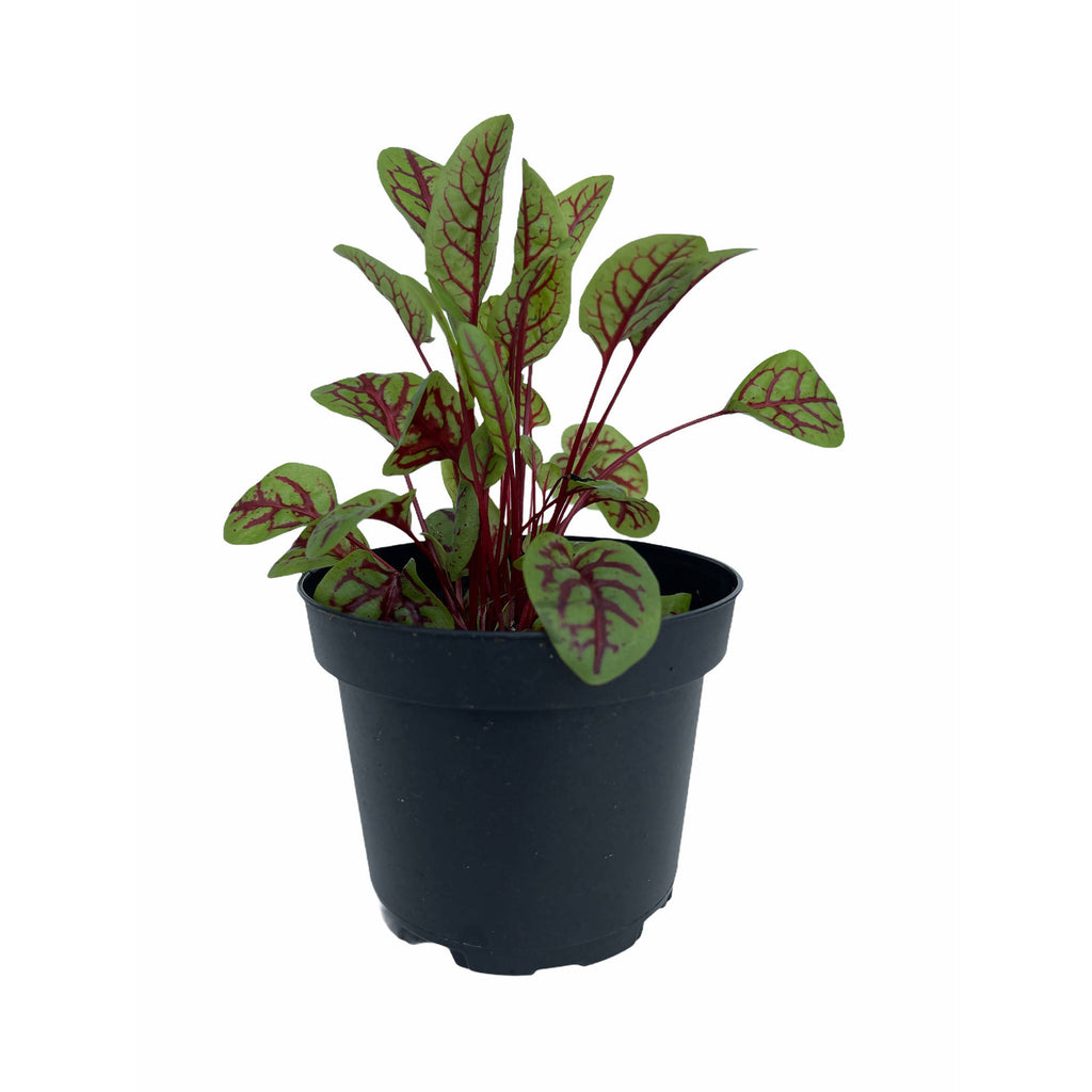 Rumex acetosa, Red Veined Sorrel (0.12mH)