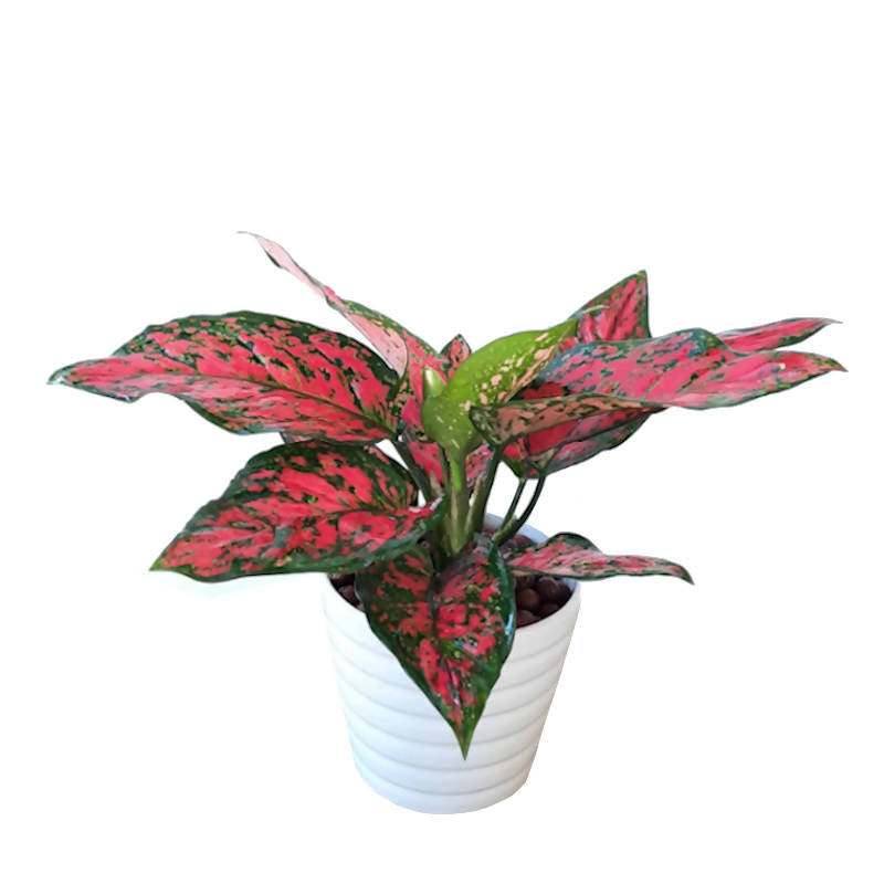 Aglaonema 'Dud Unyamanee' in White Pot (0.25m)