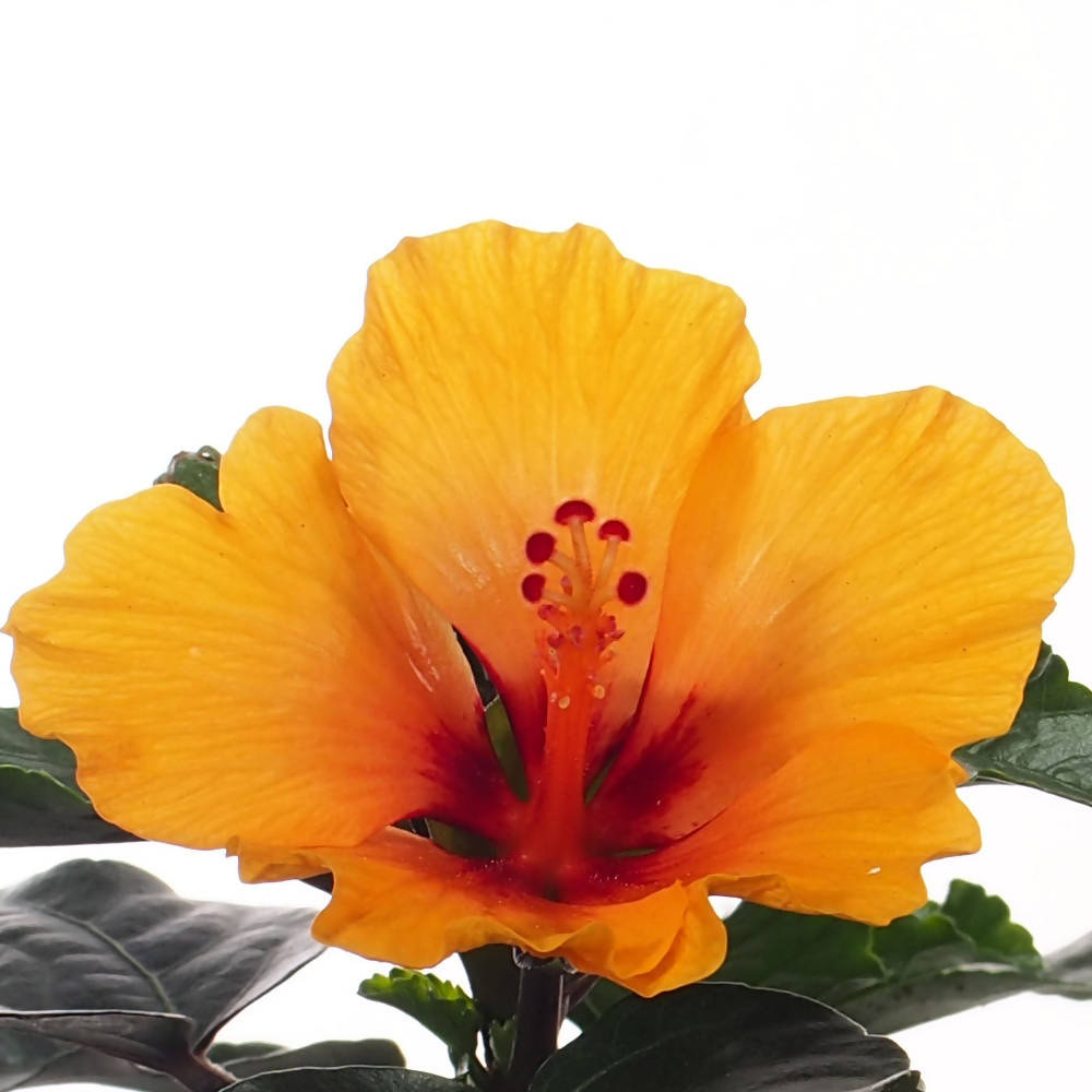 Hibiscus petite sunrise, Orange (0.3m)