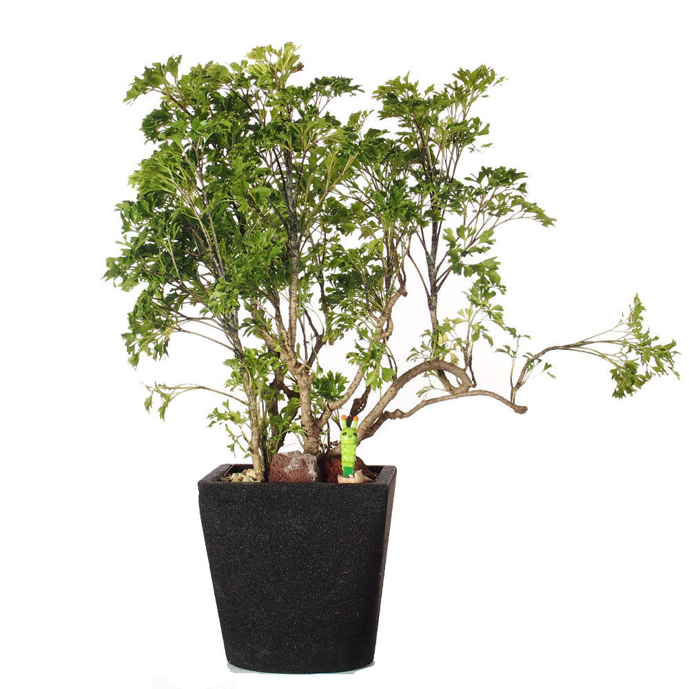 Polyscias fruticosa, Ming Aralia (Medium-sized Bonsai) in Ceramic Pot