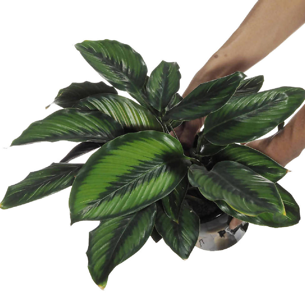 Calathea ornata, Pinstripe Plant in ceramic pot