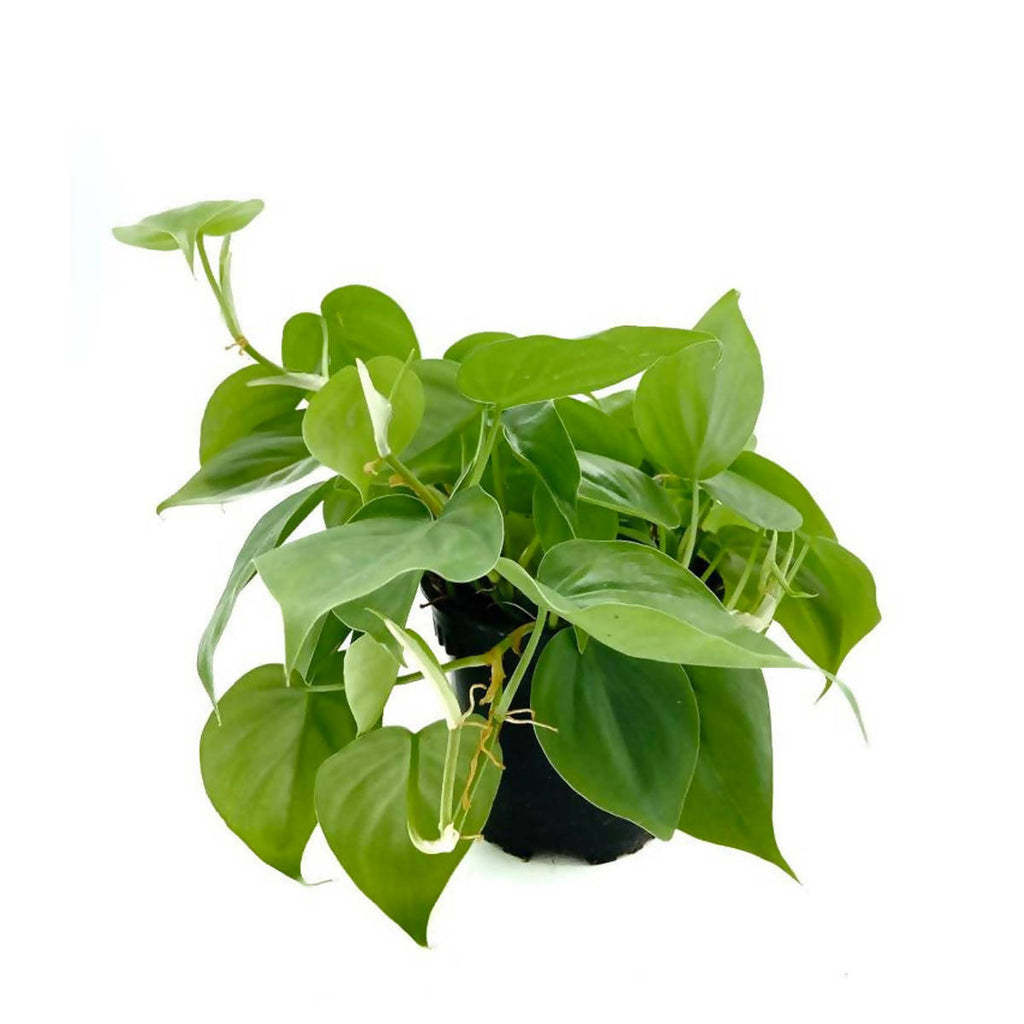 Philodendron Scandens Green (0.25m)