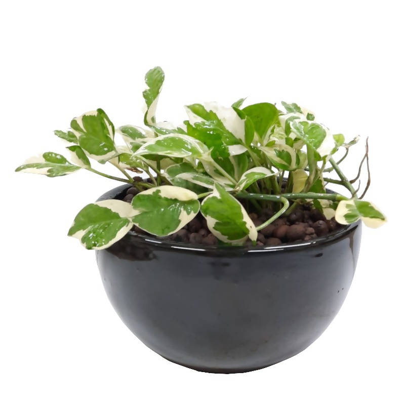 Epipremnum 'NJOY', Variegated Money Plant in Ceramic Black Pot