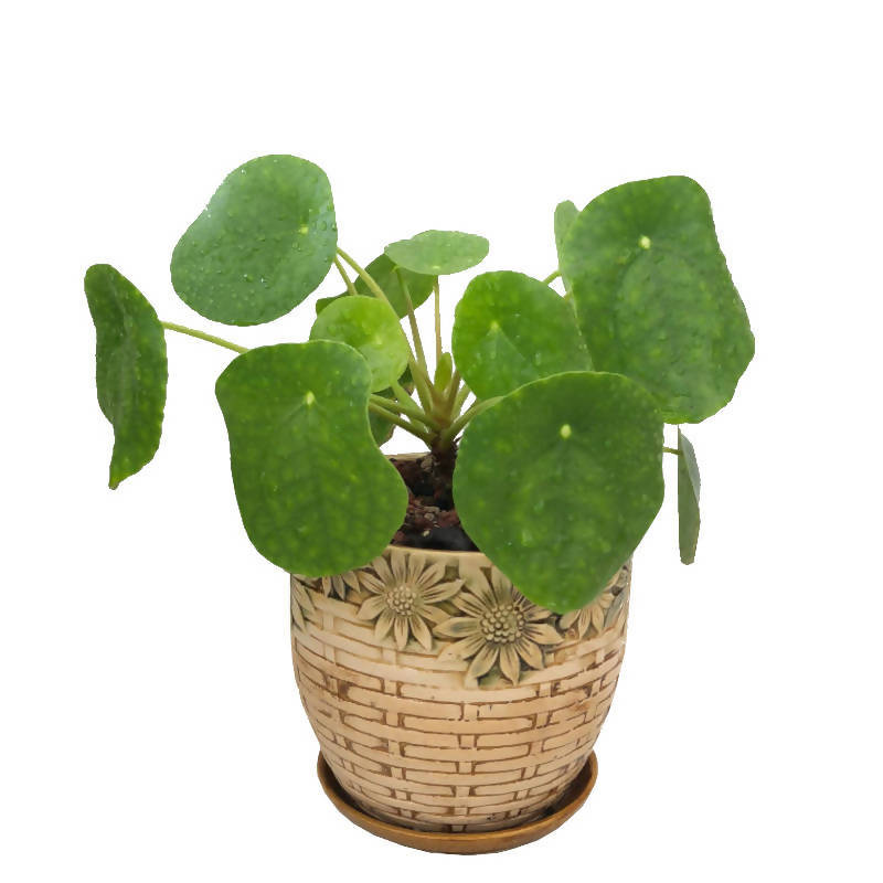 Pilea peperomioides, Chinese Money Plant in Design Pot