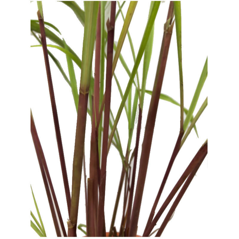 Cymbopogon nardus, Red Lemongrass, Citronella (0.55m)