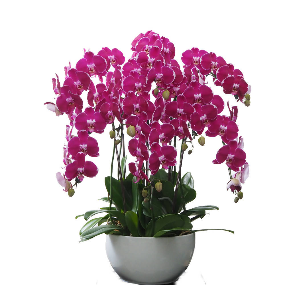 8 in 1 Phalaenopsis BNP with pot
