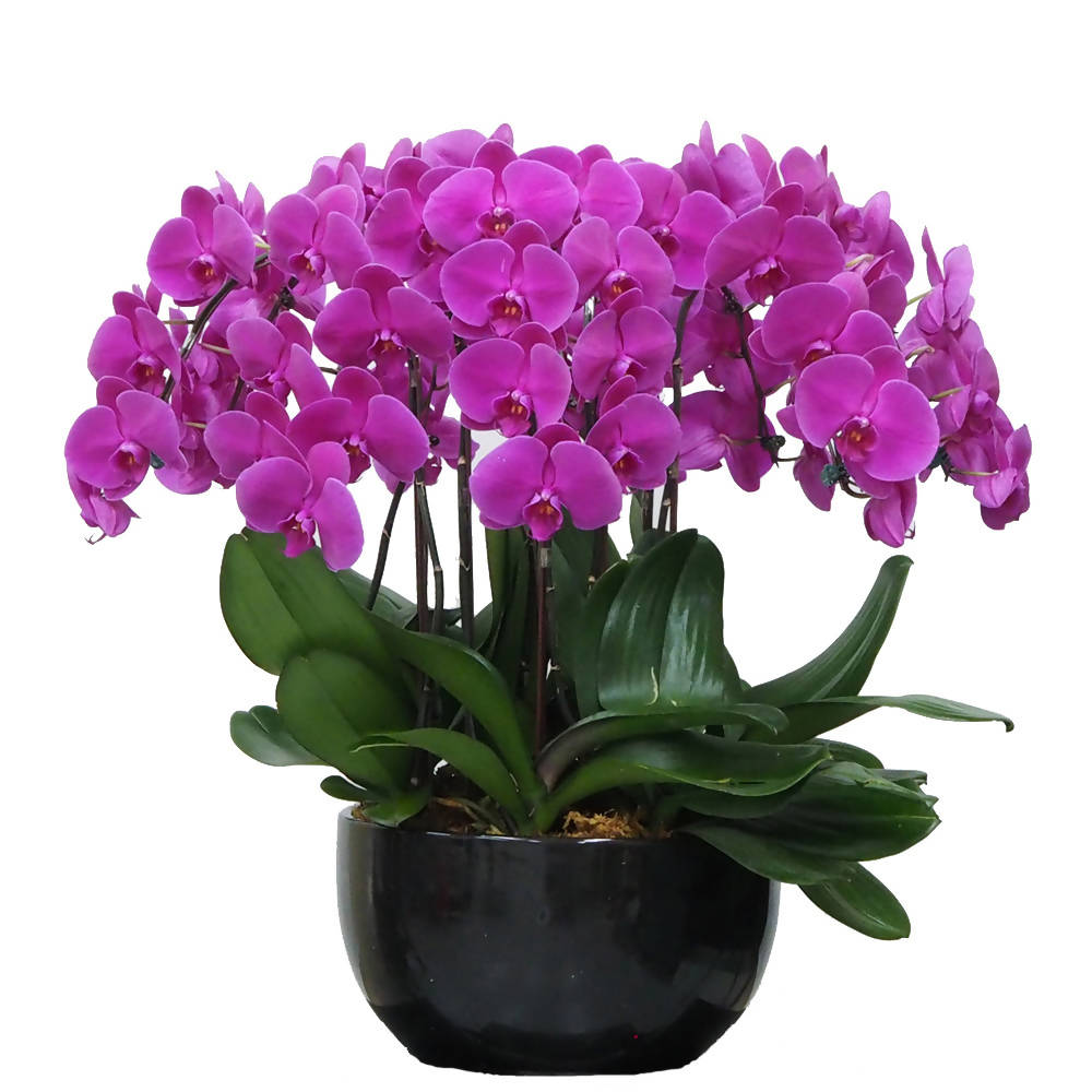 10 in 1 Phalaenopsis PTF (All Round Arrangement) with pot