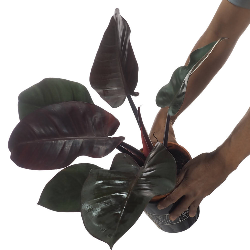 Philodendron Black Congo in ceramic pot