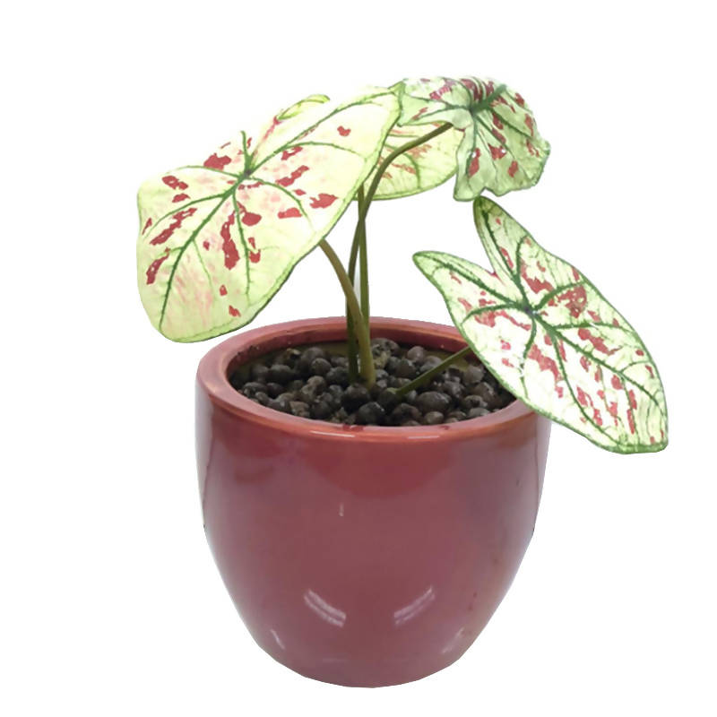 Caladium Strawberry Star in Maroon Ceramic Pot