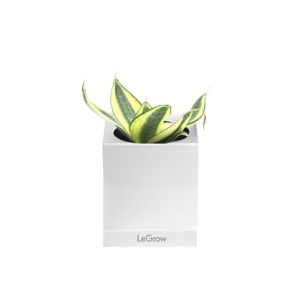 LeGrow Single with Snake Plant
