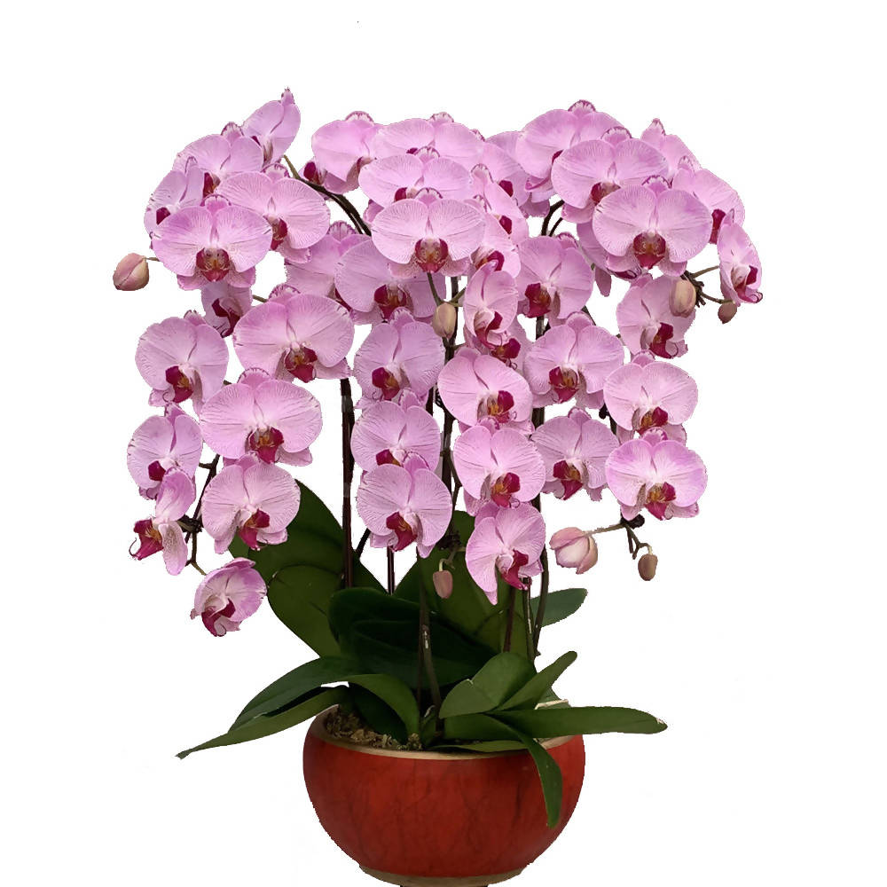 6 in 1 Phalaenopsis PPK with pot