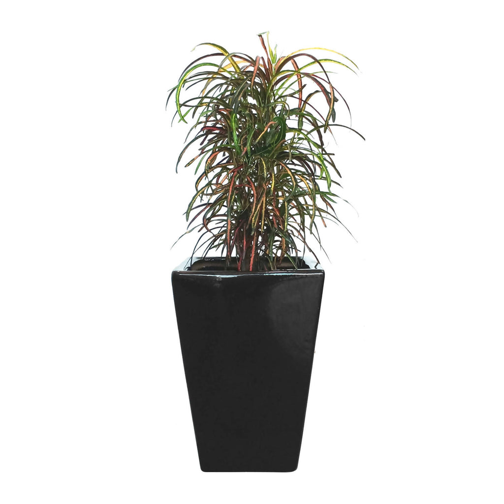 Croton Zanzibar in Square Black Pot (0.8m)