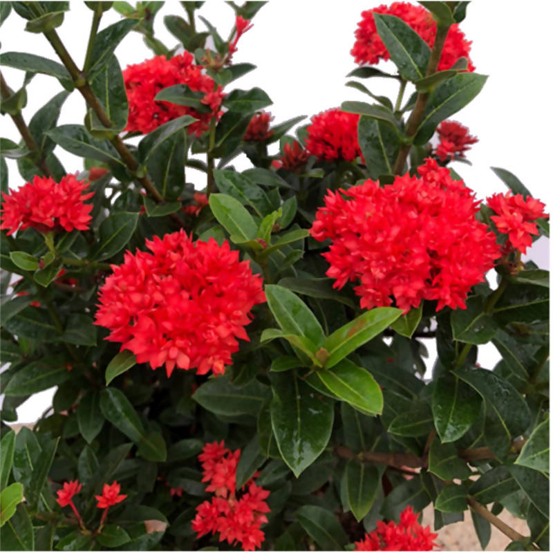 Ixora 'Crimson Star' (0.55m)