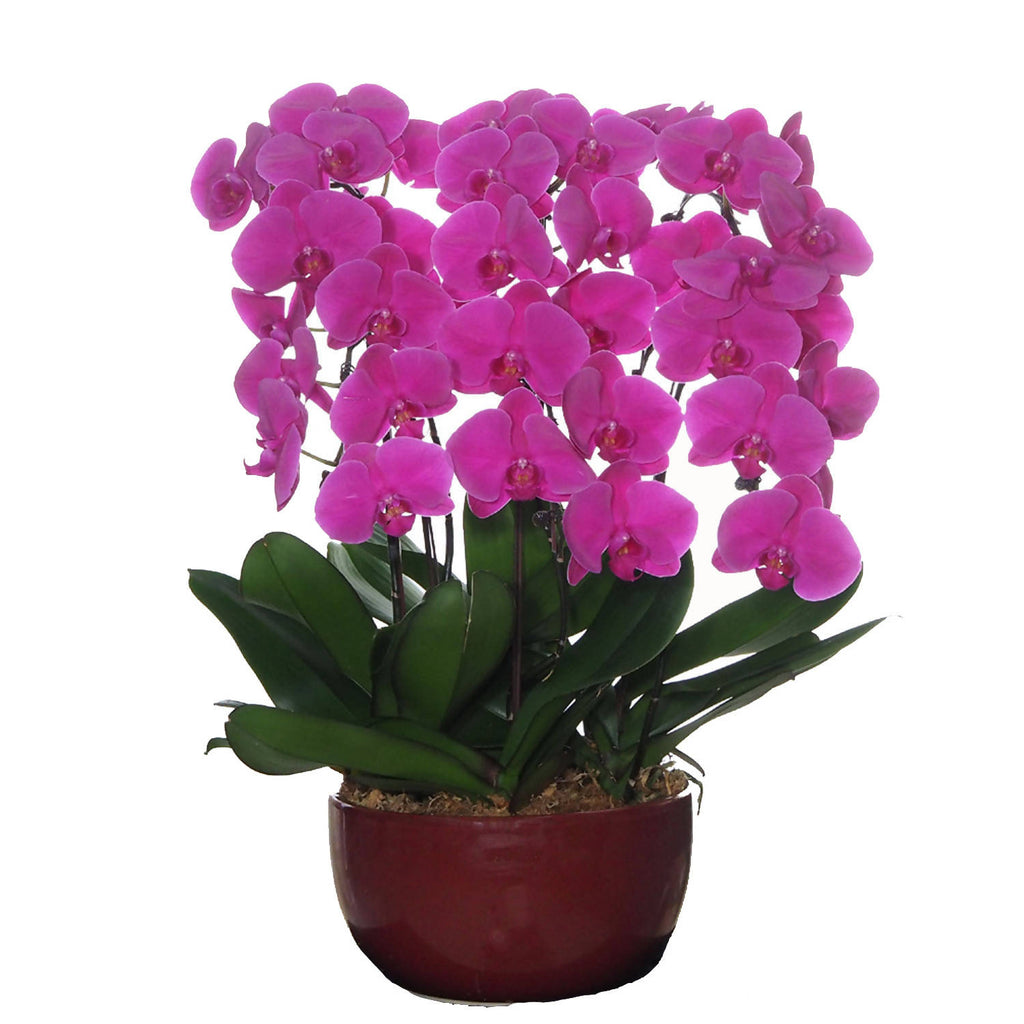 6 in 1 Phalaenopsis PTF with pot
