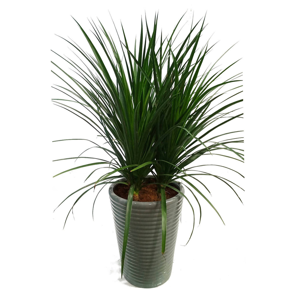 Dracaena Plant in Grey Ridged Ceramic Pot (1m)