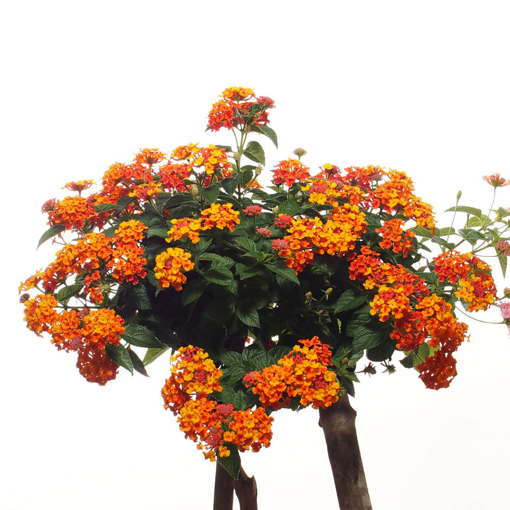 Lantana camara, Rainbow Color, Spanish Flag Plant (0.6m)