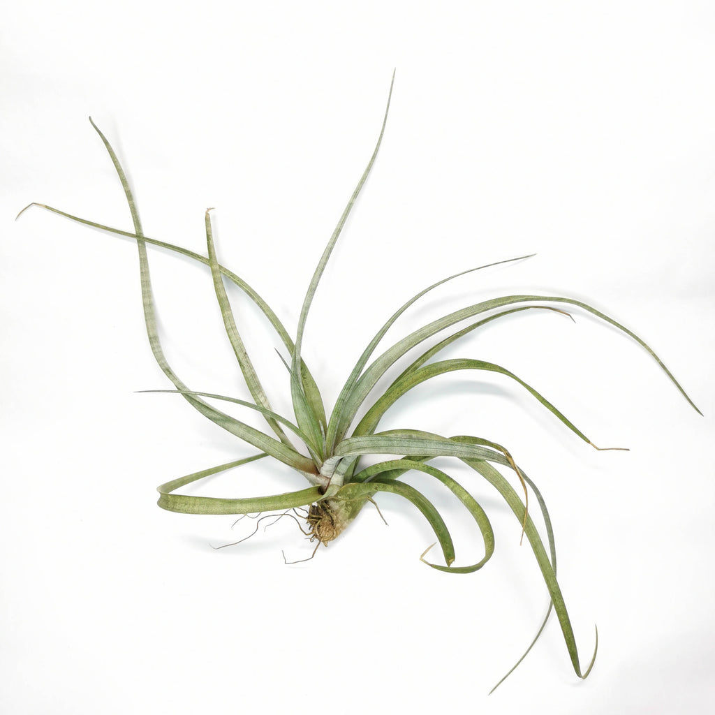 Air Plant Tillandsia hildae