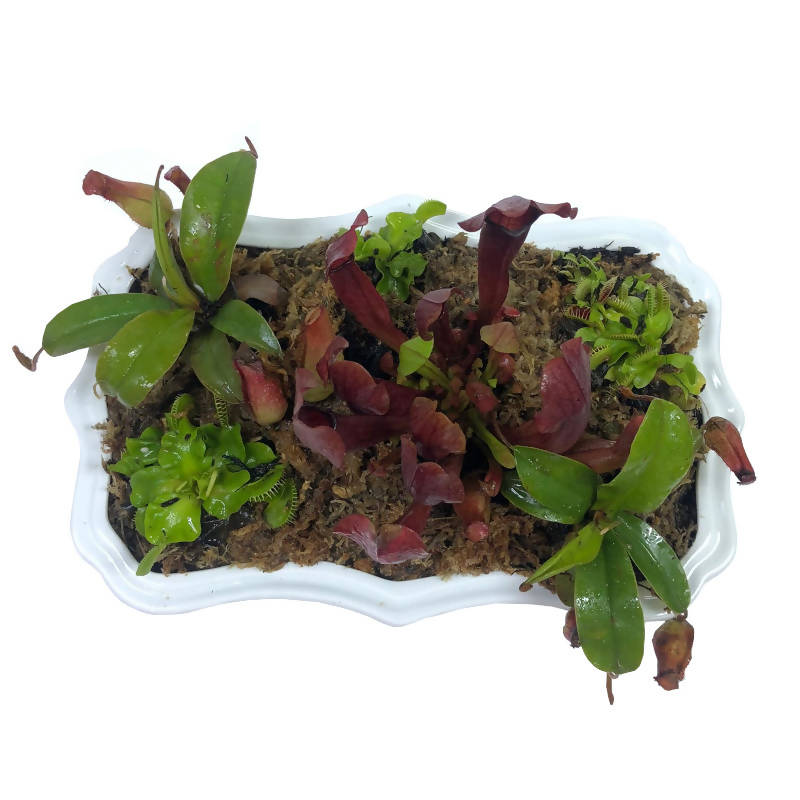 Venus Fly Trap in traditional Ceramic Pot (0.25m)