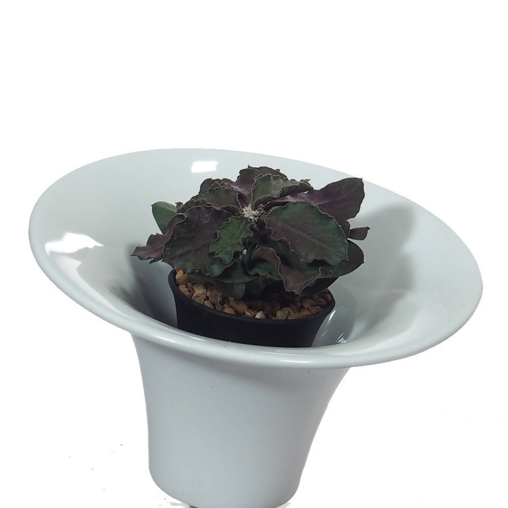Euphorbia ambovombensis in white ceramic pot