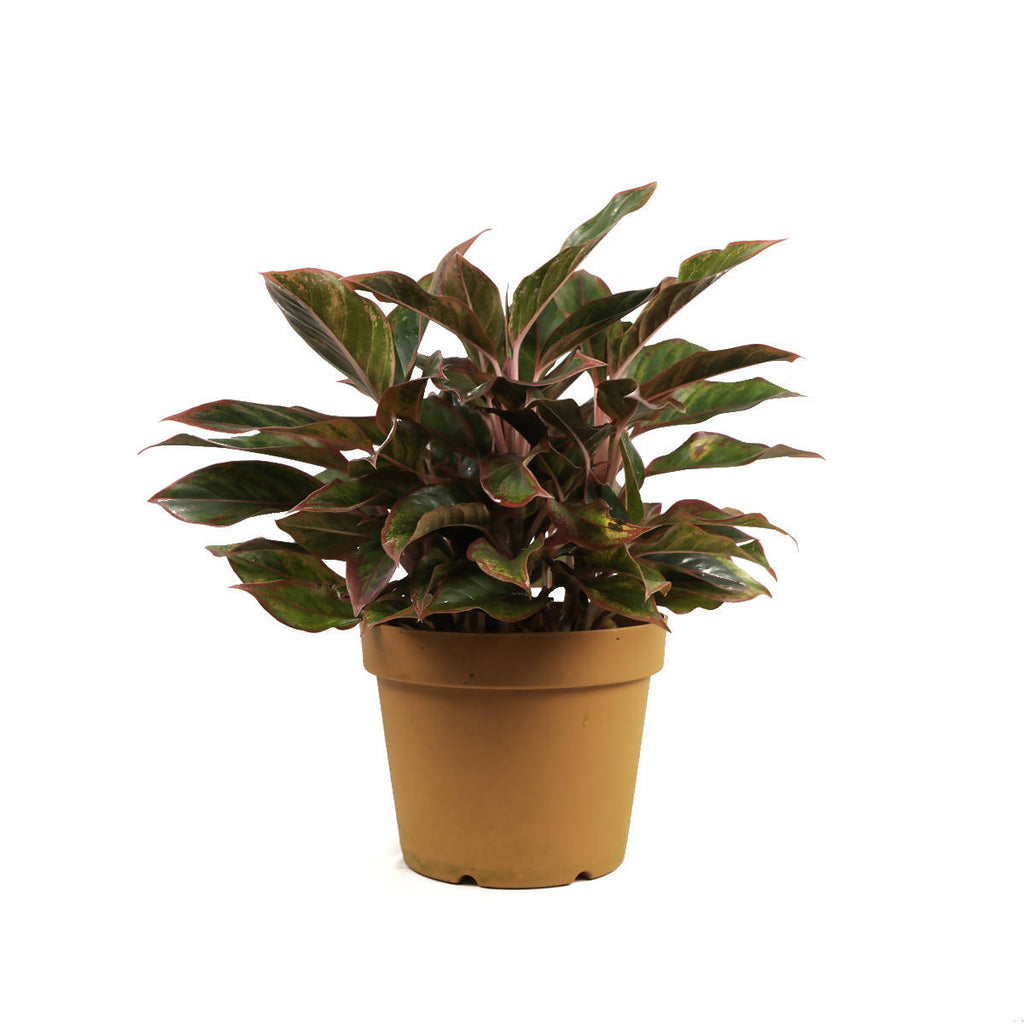 Aglaonema 'Red Siam', Chinese Evergreen (0.5m)