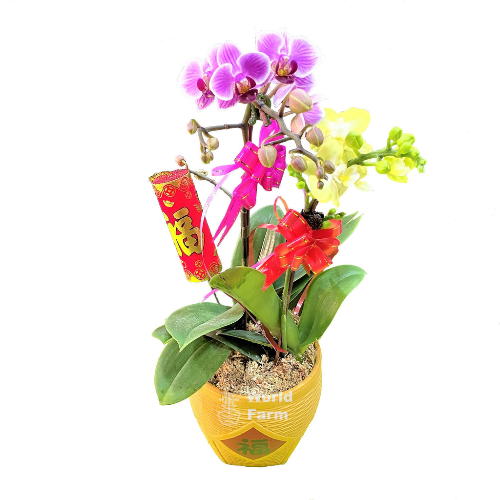 2 in 1 Mini Phalaenopsis, Multi-coloured in Ceramic Pot