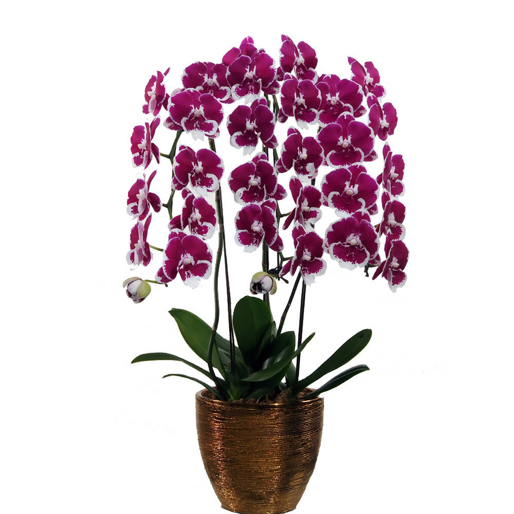 3 in 1 Phalaenopsis Purple Big Lip with Pot
