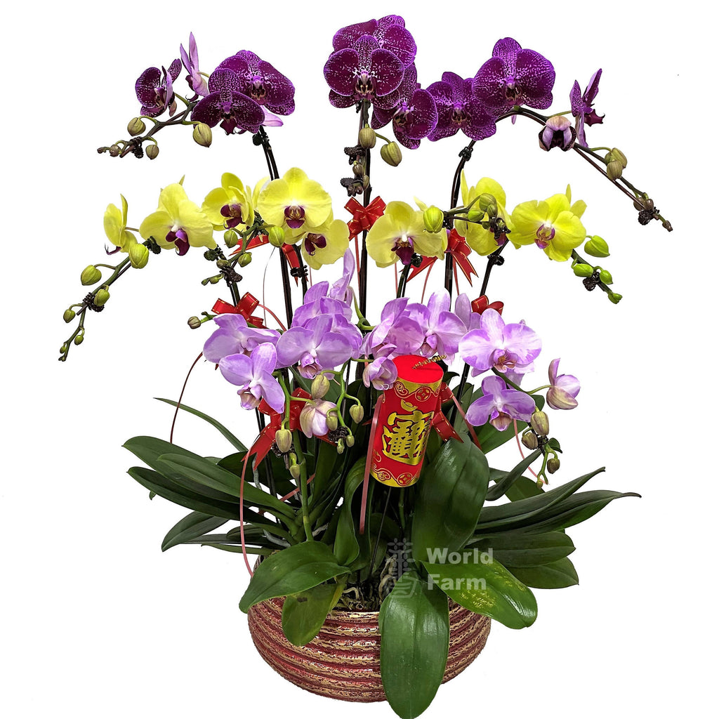 8-in-1 Phalaenopsis, Multi-coloured in Ceramic Pot