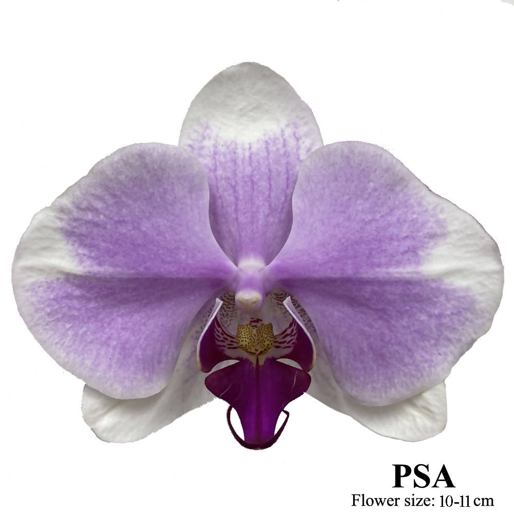 8 in 1 Phalaenopsis PSA with pot