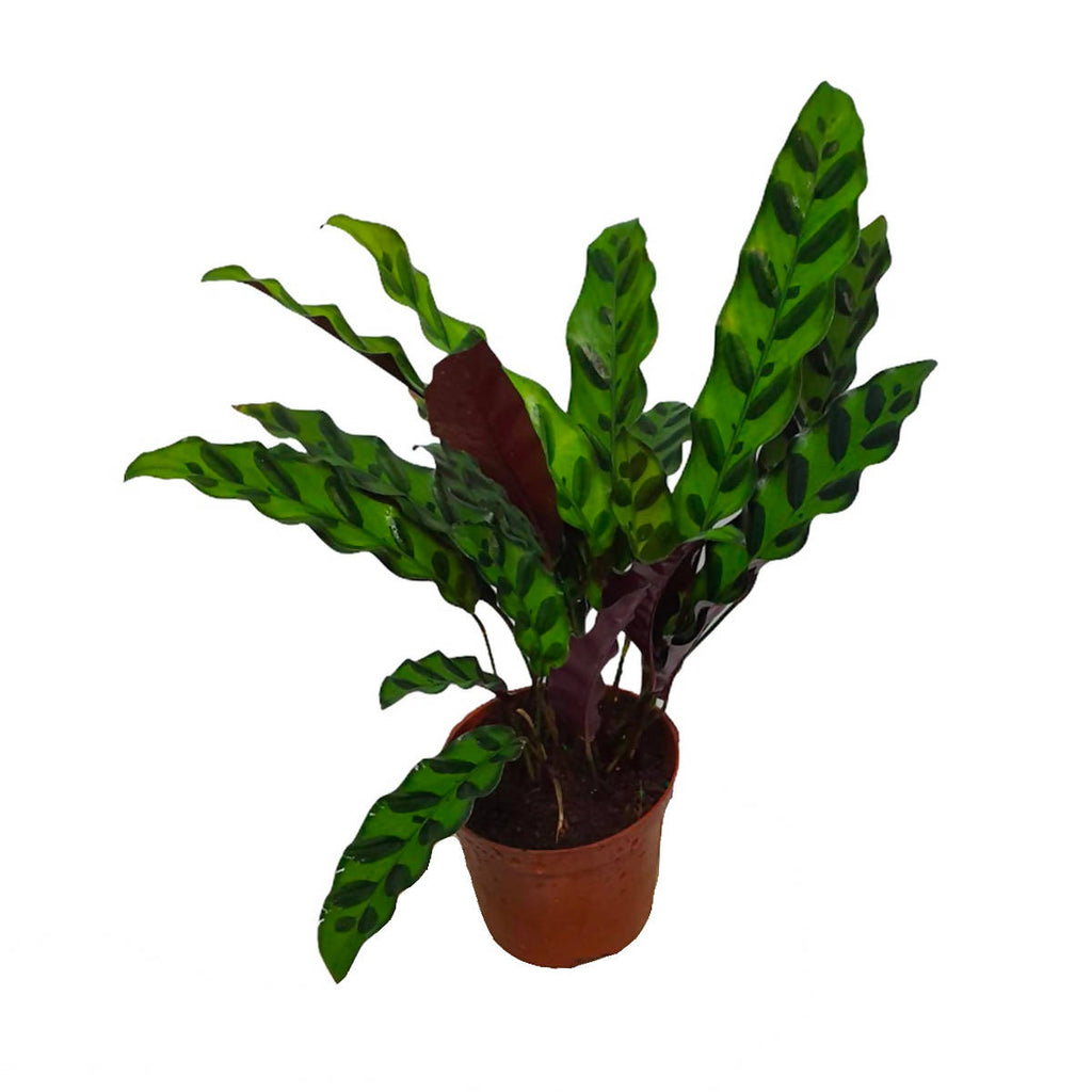 Calathea insignis, Rattlesnake Plant (0.35mH)
